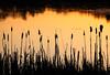 Cattails - Aurora Lake (Northern Highland American Legion State Forest - Wisconsin)