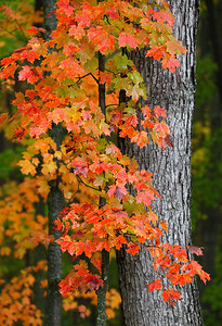 Maples Trees #2 (Kettle Moraine State Forest - Northern Unit)