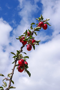 Red cider apples on tree