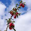 Red cider apples on tree