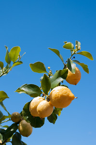 Lemons growing on tree.