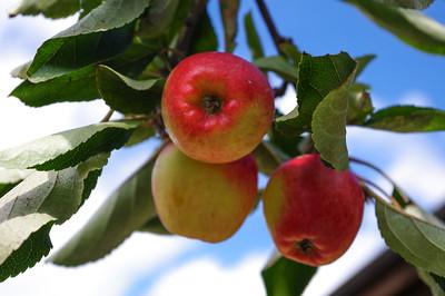 Three apples on bough
