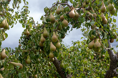 Pears on pear tree branch.