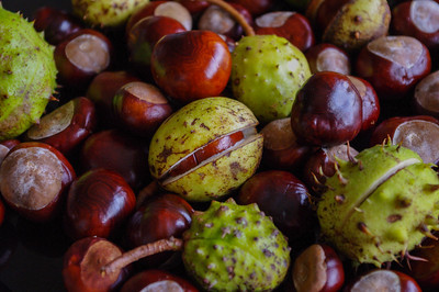 Conkers and their prickly cases.