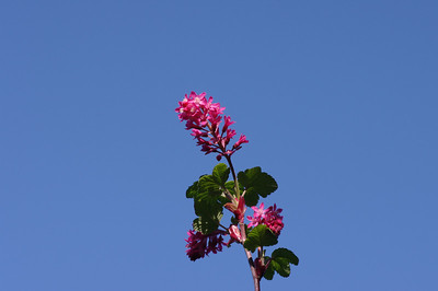 Flowering currant and blue sky.