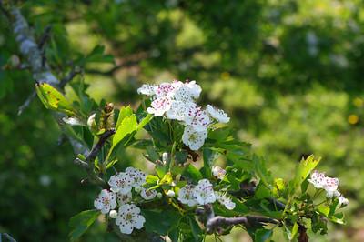 May blossom.