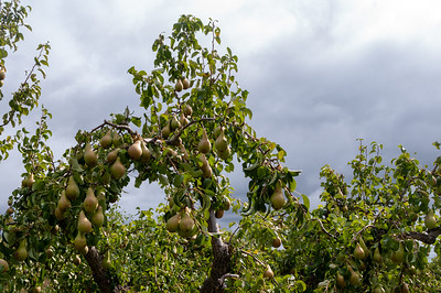Pears on pear tree