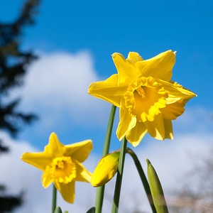 Daffodils against sky
