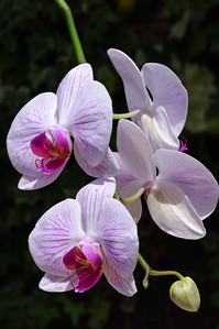 Moth orchid spray