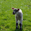 Young lamb alone