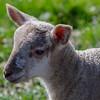 Lamb backlit