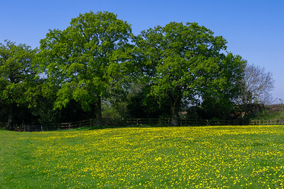 Oaks and buttercups.
