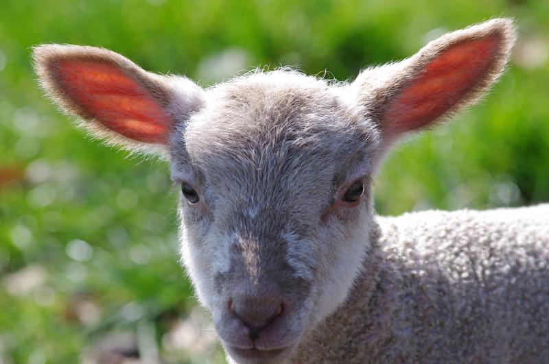 Lamb head shot