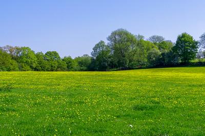 Buttercup field.