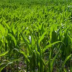 Sweetcorn in field