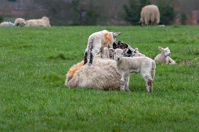 Ewe and lambs.