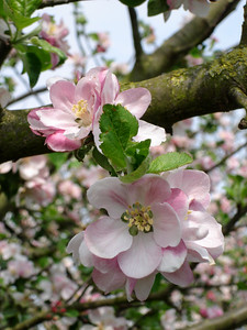 Apple blossom portrait
