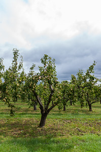 Pear orchard
