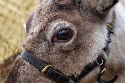 Reindeer eye