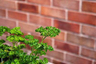 Curly leaved parsley