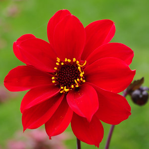 Bishop of LLandaff dahlia.