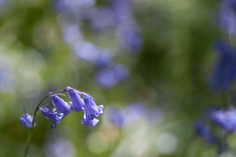 Bluebell background