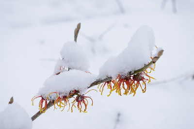 Hamemelis x intermedia 'Jelena' in snow
