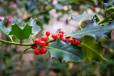 Holly berries.