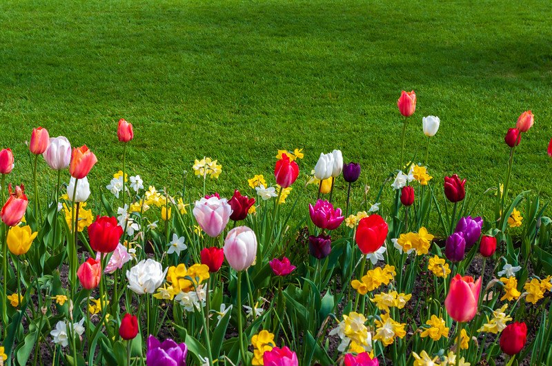 Tulips and grass