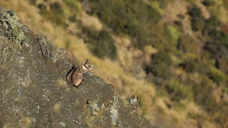 Chamois Buck Resting
