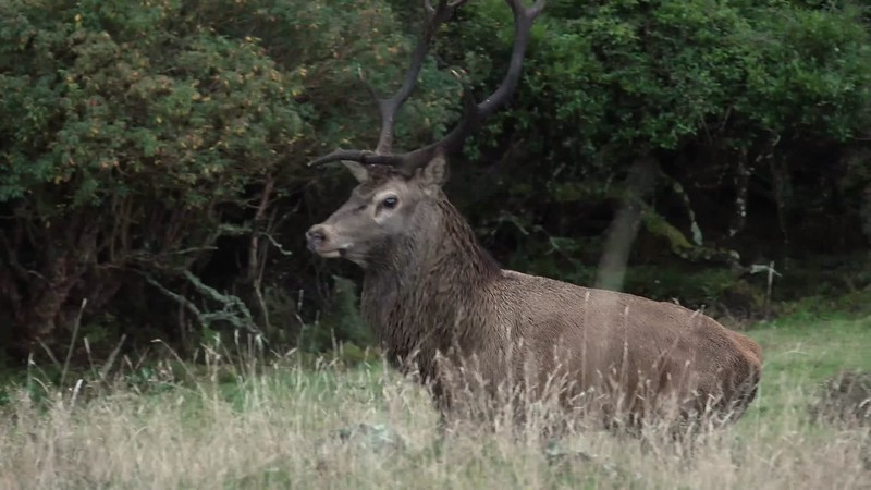 Close Red Stag