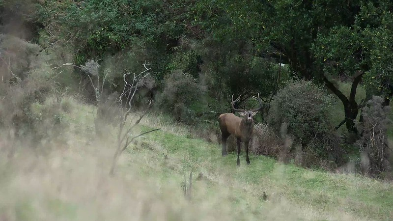Red Stag Roars