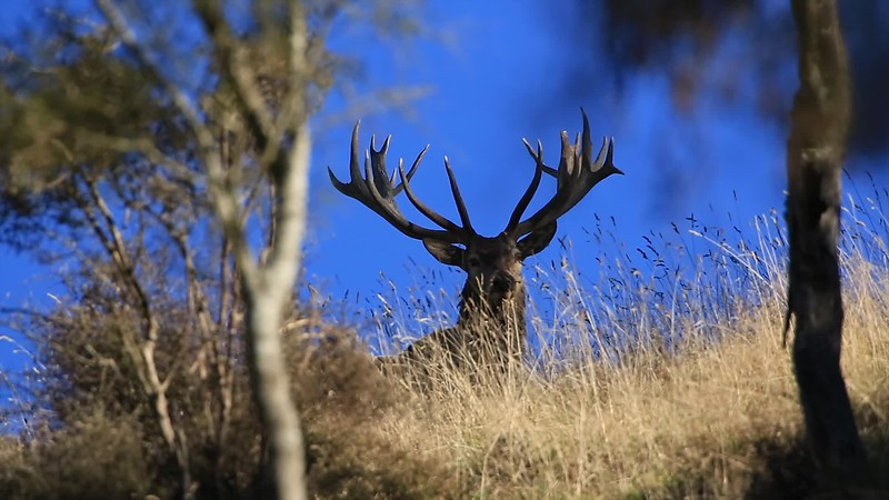 Red Stag in the shadows