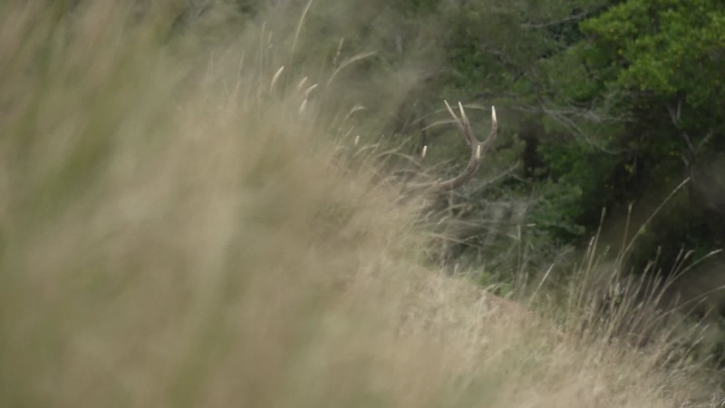Close up Stag Roar