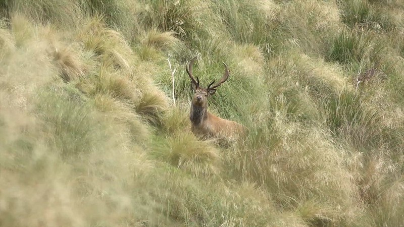 Red Stag Barks