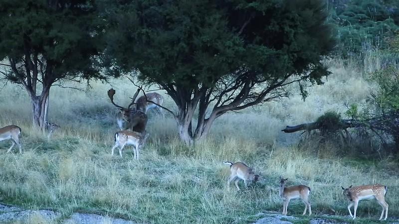 Rutting Fallow Buck