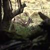 Croaking Fallow Buck