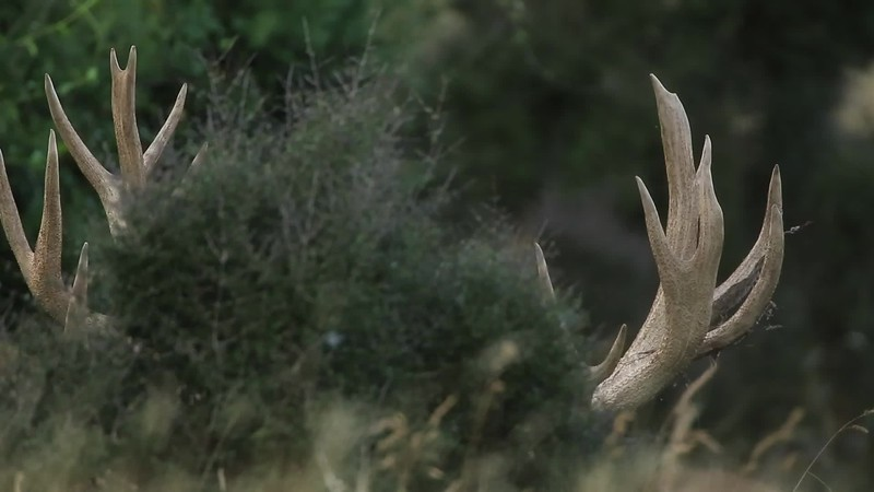 Red Stag in close