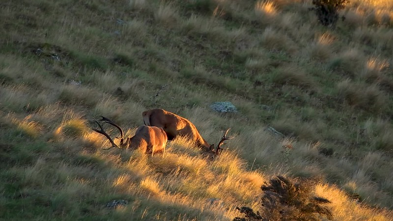 Stags Feeding