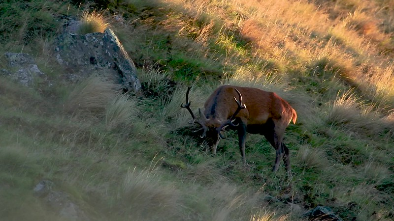 New Zealand Stag
