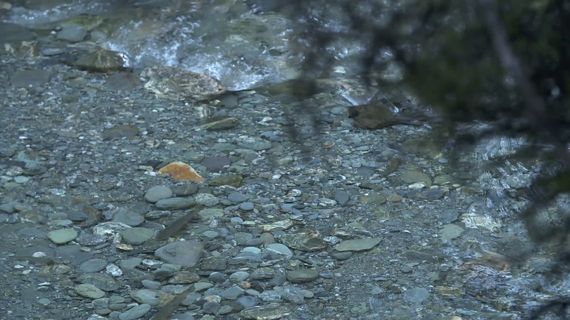 Spawning Trout