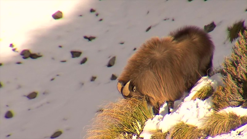 BullTahr in the snow