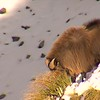 BullTahr in the snow