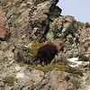 Competing Bull Tahr