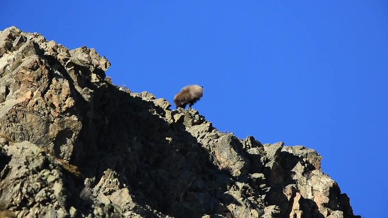 Bull on Ridge