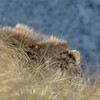 Close up Bull Tahr
