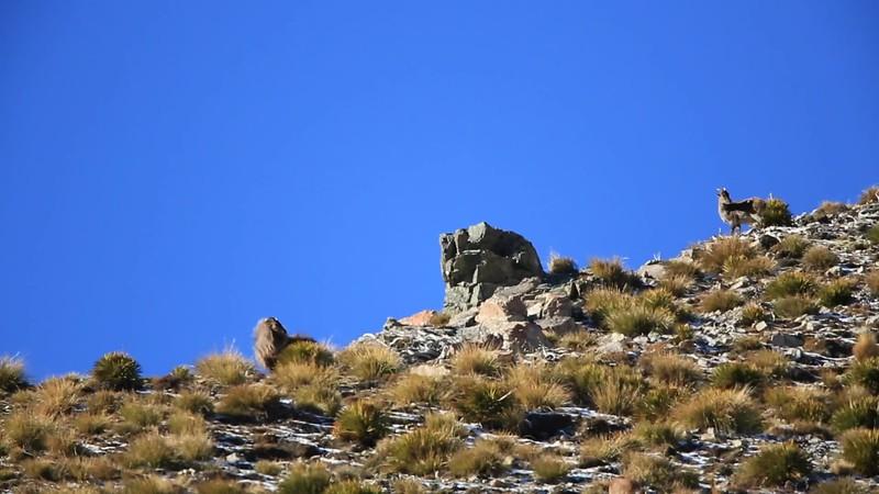 Two big Bull Tahr on ridge