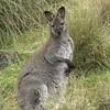 New Zealand Wallaby