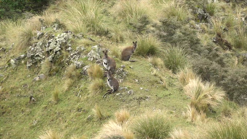 New Zealand Wallabies