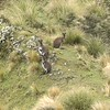 New Zealand Wallabies